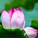 blooming lotus flower - PhotoDune Item for Sale