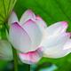 blossom lotus flower in summer - PhotoDune Item for Sale