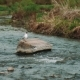 Small Tern Takes Off From a Mountain River - VideoHive Item for Sale
