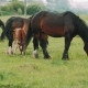 A Herd of Wild Horses Eat Fresh Greens in a Meadow - VideoHive Item for Sale