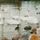 A Flock of Swans on the Lake, Waiting for the Food From the Tourists. Lake Balaton in Hungary - VideoHive Item for Sale
