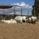 Goats Eating Hay at Farm - VideoHive Item for Sale