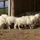 Sheeps Eating Hay at Farm - VideoHive Item for Sale