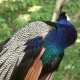 Peacocks Sitting on Branch in Forest - VideoHive Item for Sale