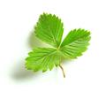 fresh green strawberry leaf - PhotoDune Item for Sale