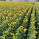 Sunflower on the Field, Flong the Rows, a Lot of Plants - VideoHive Item for Sale