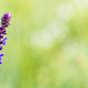 Purple herbal flower background - PhotoDune Item for Sale