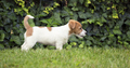 Beautiful Jack Russell puppy standing in the grass