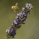 Bee fly hovering on flowers of lavander. - PhotoDune Item for Sale