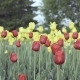 Red and Yellow Tulips on a Flower Bed. - VideoHive Item for Sale