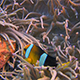 Vibrant colored Clarks anemonefish, Amphiprion clarkii in  a sea anemone - VideoHive Item for Sale