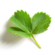 fresh green strawberry leaf - PhotoDune Item for Sale