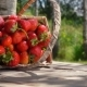 Basket with Ripe Strawberry Falls on a Wooden Table - VideoHive Item for Sale
