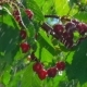 Ripe Cherries Hang on Branches in the Rain - VideoHive Item for Sale