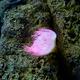 pink sea anemone - PhotoDune Item for Sale