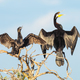 A Darter and a Little Black Cormorant - PhotoDune Item for Sale