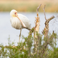 Yellow-Billed Spoonbill  - PhotoDune Item for Sale