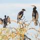A Darter and Little Black Cormorants - PhotoDune Item for Sale