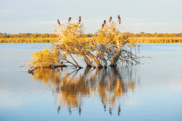 A Darter, Cormorants and Ducks - Stock Photo - Images