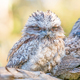 A Young Tawny Frogmouth  - PhotoDune Item for Sale