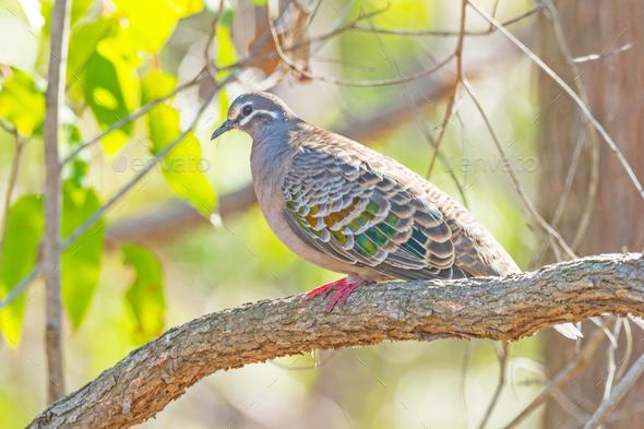 Common Bronzewing Pigeon - Stock Photo - Images
