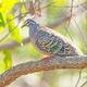Common Bronzewing Pigeon - PhotoDune Item for Sale