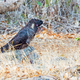 Male Short-Billed (Carnaby's) Black Cockatoo  - PhotoDune Item for Sale