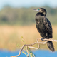 A Little Black Cormorant - PhotoDune Item for Sale