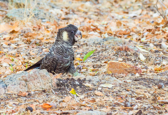 Female Short-Billed (Carnaby's) Black Cockatoo - Stock Photo - Images