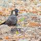 Female Short-Billed (Carnaby's) Black Cockatoo - PhotoDune Item for Sale