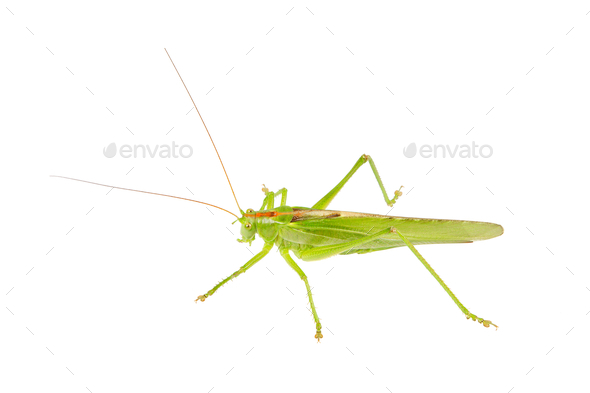 Green grasshopper isolated on a white - Stock Photo - Images