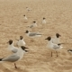 Group of Seagulls Walk on the Beach in the Summer - VideoHive Item for Sale