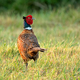 Wild pheasant in a field - PhotoDune Item for Sale