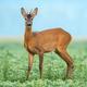 Roe deer standing in a soy field - PhotoDune Item for Sale