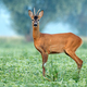 Roe deer standing in a soy field - PhotoDune Item for Sale
