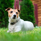 Jack russel terrier on lawn near house - PhotoDune Item for Sale