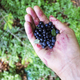 Blueberry in man hand - PhotoDune Item for Sale