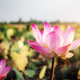 Pink lotus with beautiful - PhotoDune Item for Sale