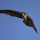 Osprey (Pandion haliaetus) - PhotoDune Item for Sale