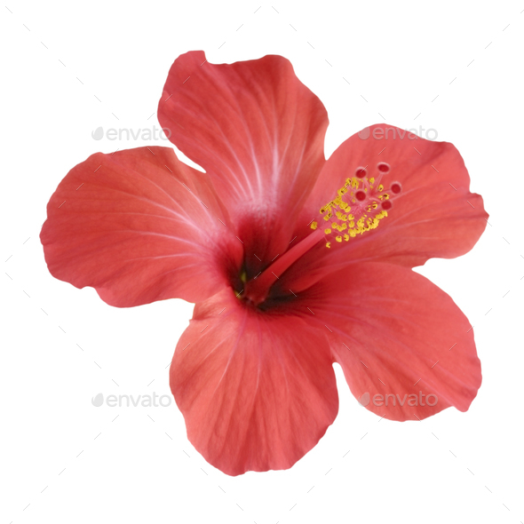Red Hibiscus Flower Isolated On White Background Stock Photo By Emikh