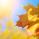 Yellow and Red maple leaves during fall season against sunny blu - PhotoDune Item for Sale