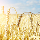Wheat ears sunny day under blue sky - PhotoDune Item for Sale