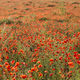 Field of red poppy flowers under the sun. - PhotoDune Item for Sale