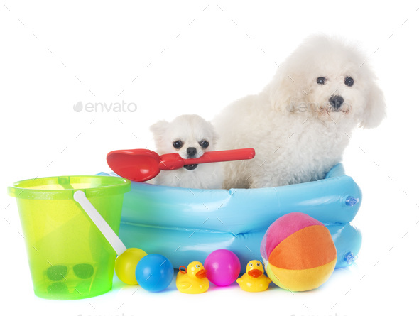 maltese dog and chihuahua - Stock Photo - Images