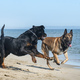 dogs playing on the beach - PhotoDune Item for Sale