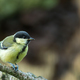 Young Great tit (Parus major) perching - PhotoDune Item for Sale