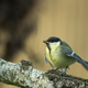 Young Great tit (Parus major) is waiting for feeding - PhotoDune Item for Sale