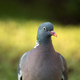 Portrait of Wood pigeon (Columba palumbus) - PhotoDune Item for Sale