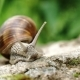 Grape Snail Creeping Along Big Stone - VideoHive Item for Sale