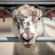 Sheep behind the fence on a farm - PhotoDune Item for Sale